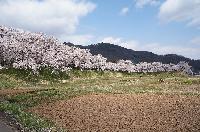 治田公園の桜