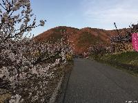千曲市 森地区のあんずの花が満開です