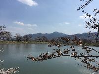 治田公園の桜が咲き始めました