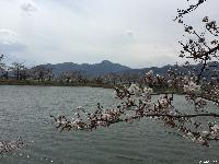 治田公園の桜は五分咲きです
