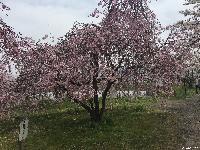 治田公園の桜が満開です