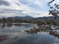 治田公園の桜は散り始めました